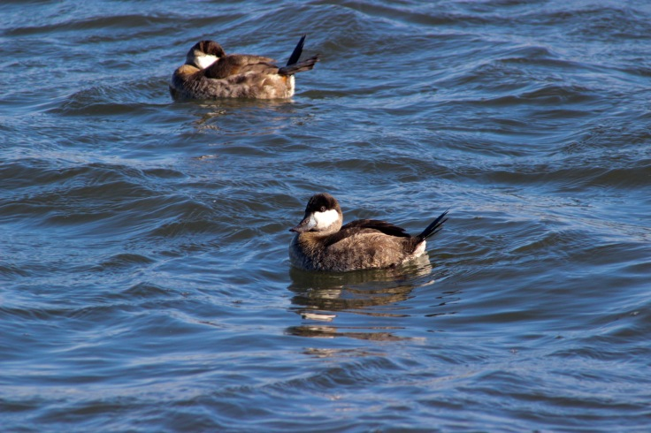 Ruddy Duck3
