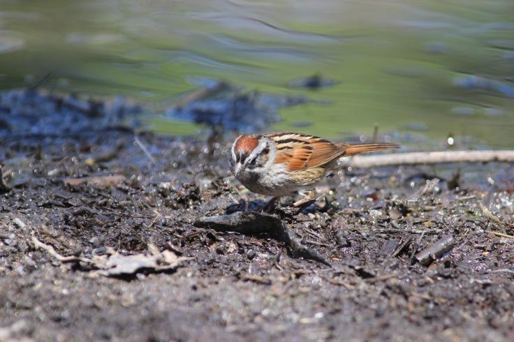 Swamp Sparrow2