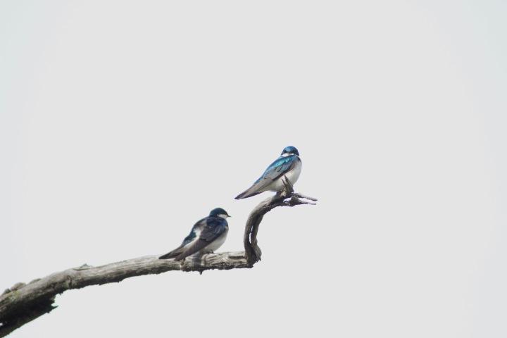 Tree Swallow1