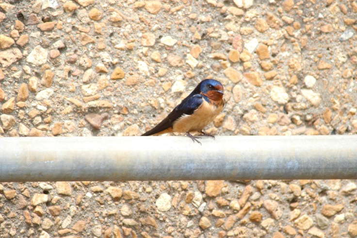 Barn Swallow5