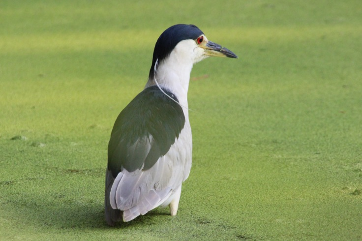 Black-crowned Night Heron3