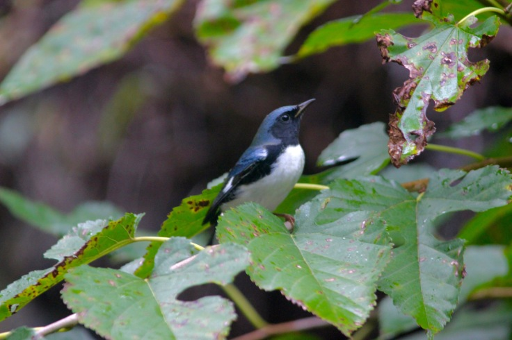 Black-throated Blue Warbler male1