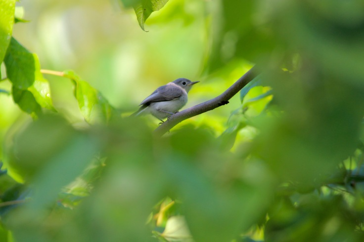 Blue-gray Gnatcatcher3