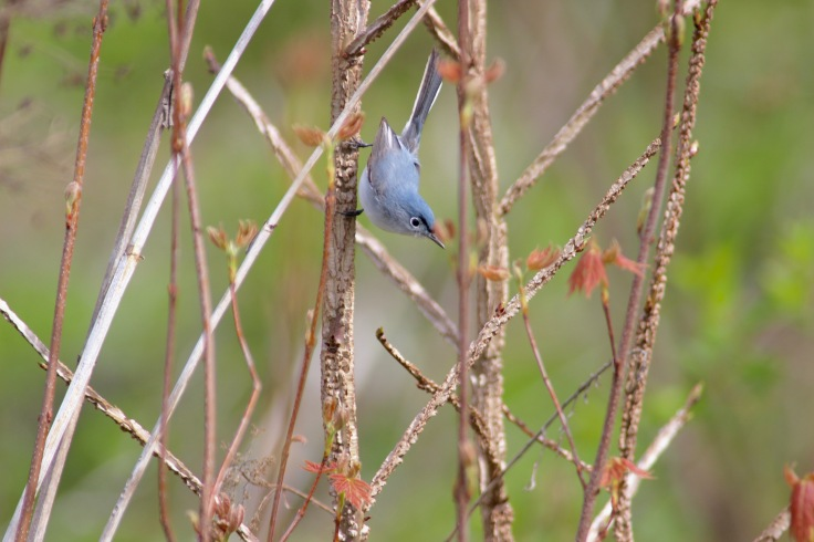 Blue-gray Gnatcatcher6