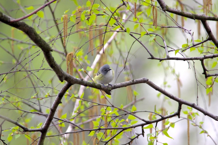 Blue-headed Vireo1