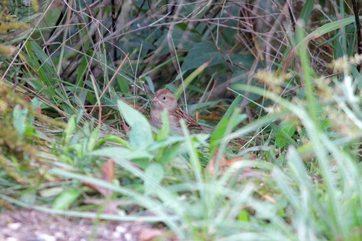 Field Sparrow3