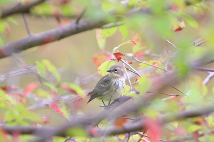 Yellow-rumped Warbler fall3