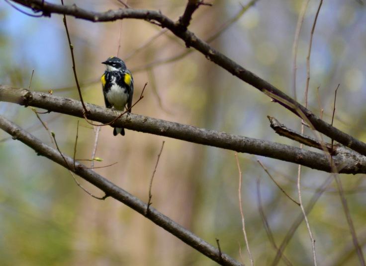 Yellow-rumped Warbler spring3