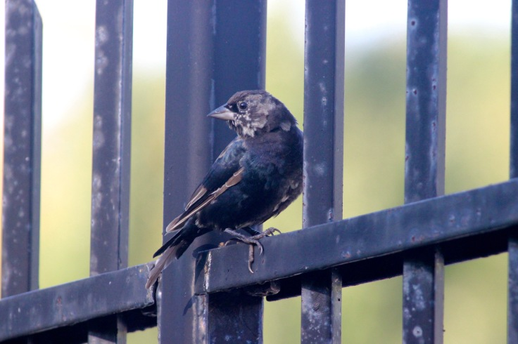 Brown-headed Cowbird Molting