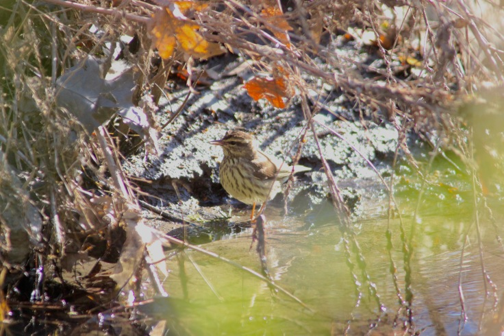 Northern Waterthrush2