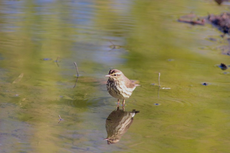 Northern Waterthrush3