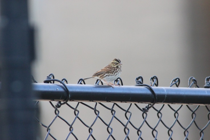 Savannah Sparrow2