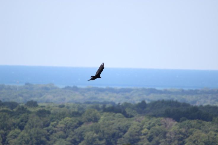 Turkey Vulture1
