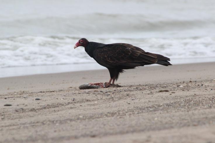 Turkey Vulture3