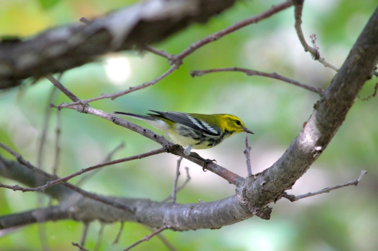 Black-throated Green Warbler2