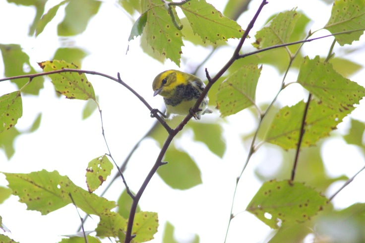 Black-throated Green Warbler3