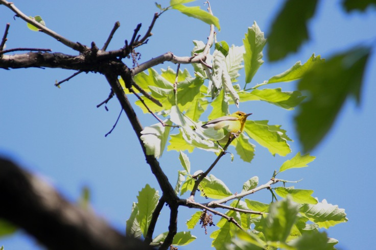 Prothonotary Warbler1