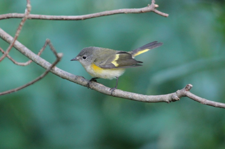 American Redstart female2