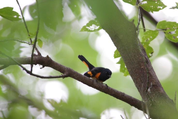 American Redstart Male2