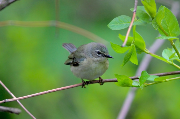 Black-throated Blue Warbler Female1