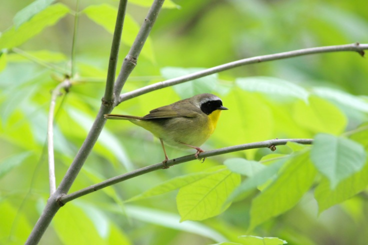 Common Yellowthroat2