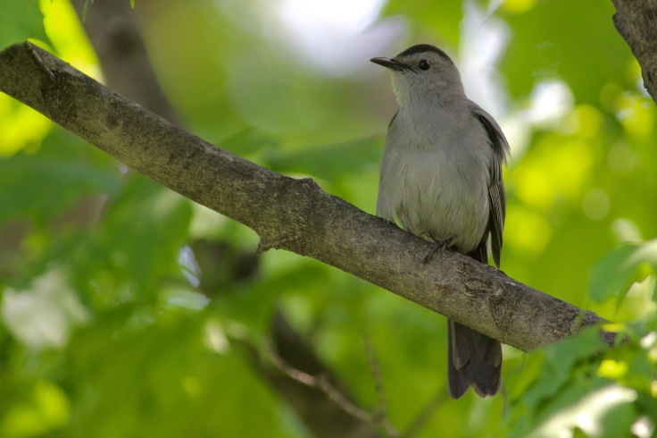 Gray Catbird2