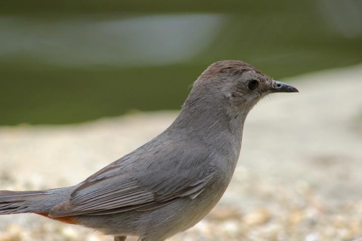 Gray Catbird3