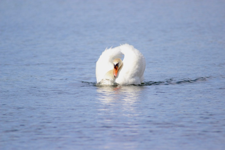 Mute Swan1