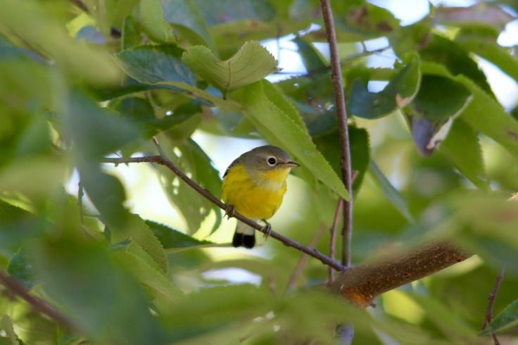 Magnolia Warbler fall2