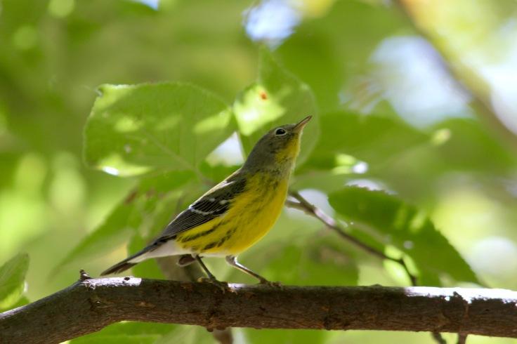 Magnolia Warbler fall3