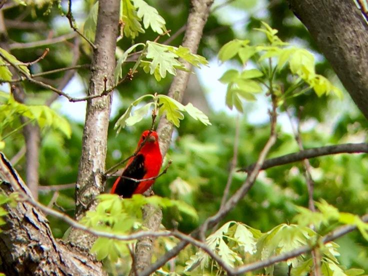 Scarlet Tanager2