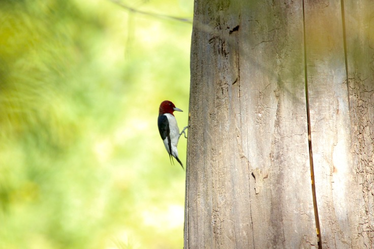 Red-headed Woodpecker4