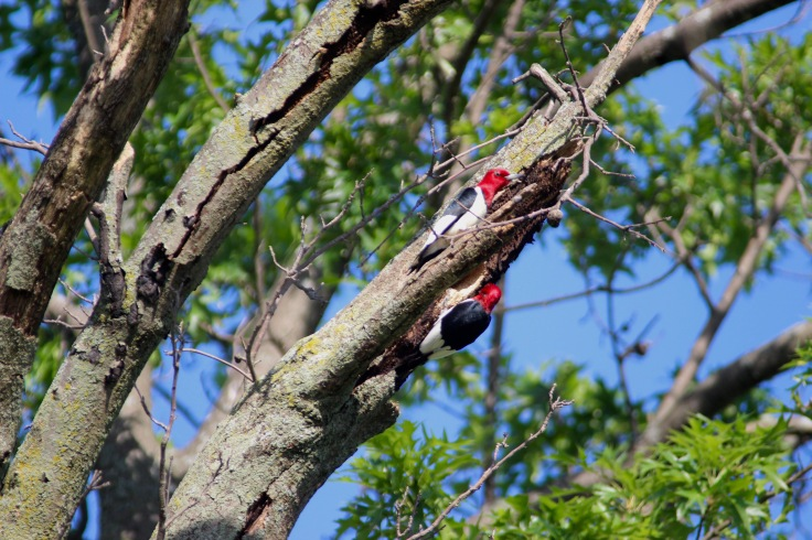 Red-headed Woodpecker6