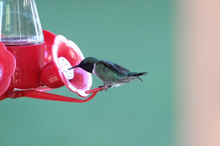 Ruby-throated Hummingbird1