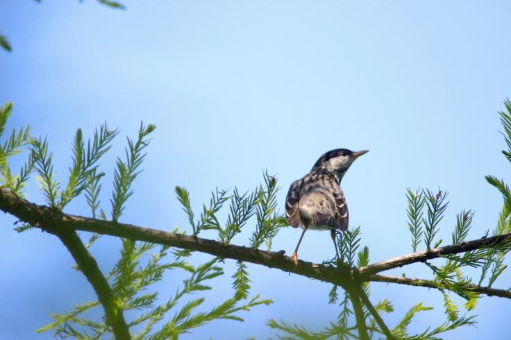 Blackpoll Warbler3