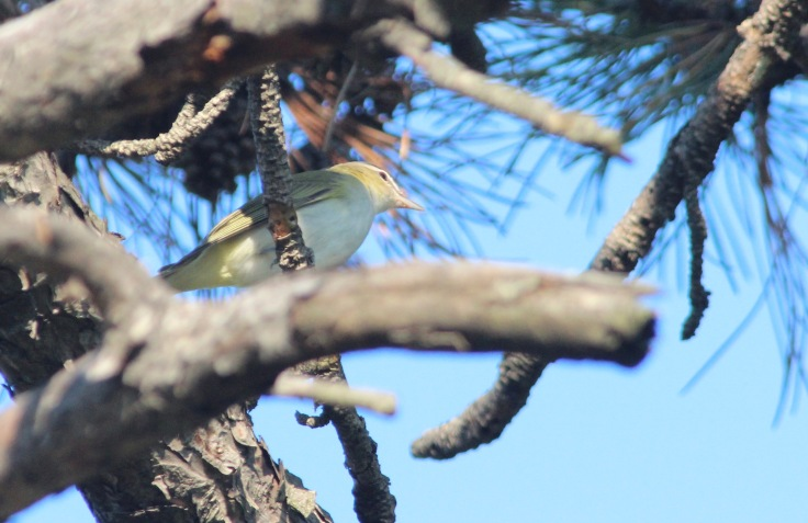 Red-eyed Vireo2