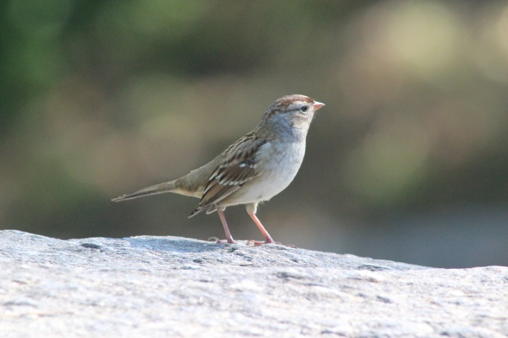 White-crowned Sparrow2