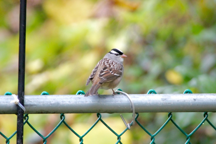 White-crowned Sparrow4