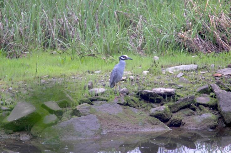 Yellow-crowned Nigth Heron1