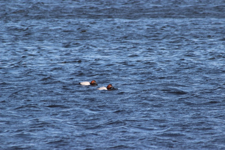 Canvasback4