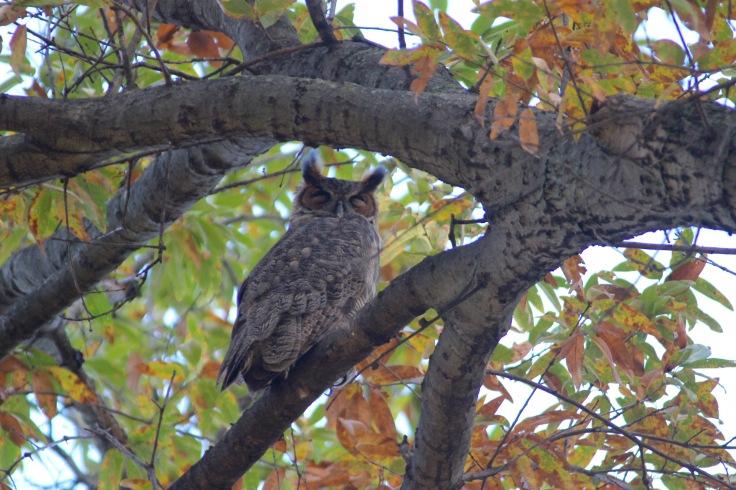 Great Horned Owl4