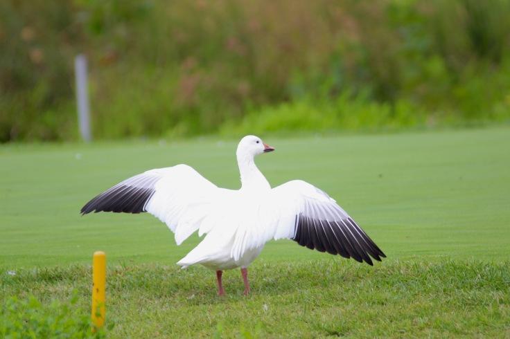 Snow Goose1