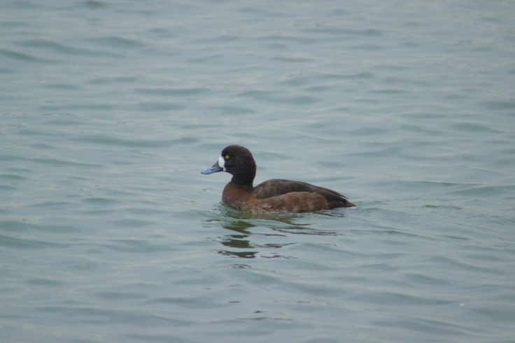 Greater Scaup Female1