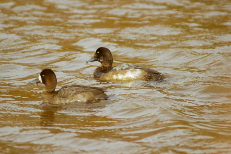 Greater Scaup5
