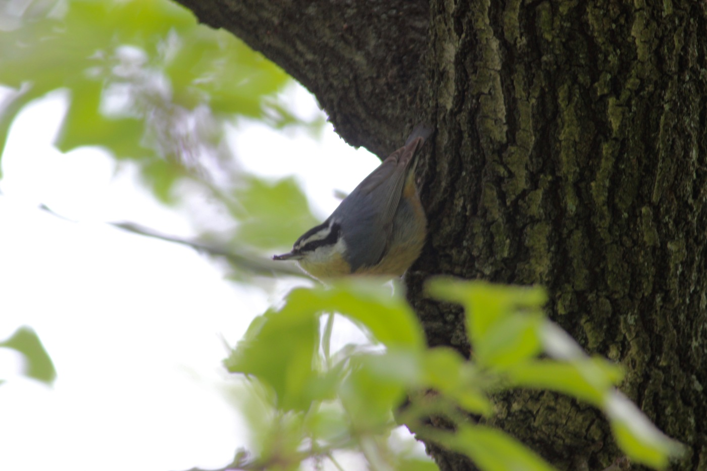 Red Breasted Nuthatch Feathered Focus