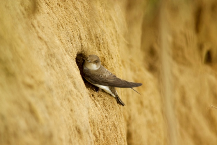bank swallow1