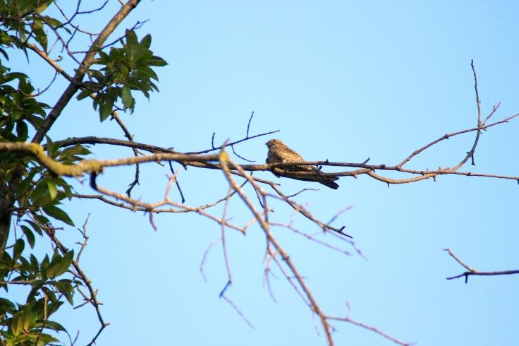 Common Nighthawk1