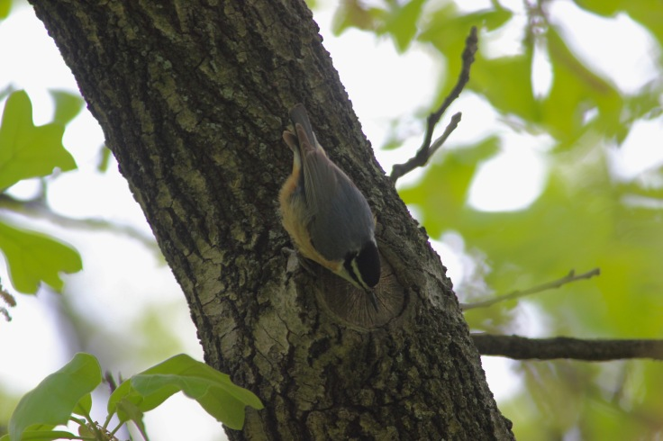 Red-brested Nuthatch3