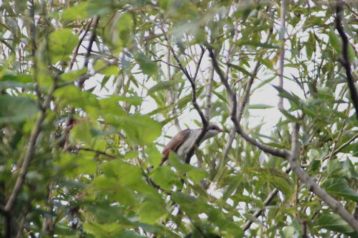Yellow-billed cuckoo1