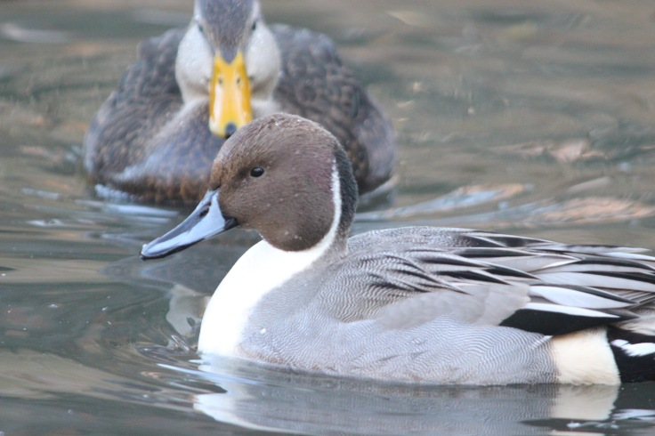 Northern Pintail2